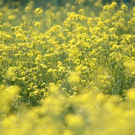 Field mustard, Canon EOS 7D, Sigma 50-500mm f/4.5-6.3 APO DG OS HSM