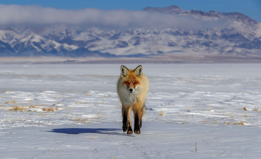 The Red Fox came from snowy mountains, автор — sehu  на 500px.com