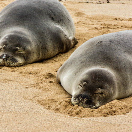 Hawaiian monk seals, Panasonic DMC-FZ35