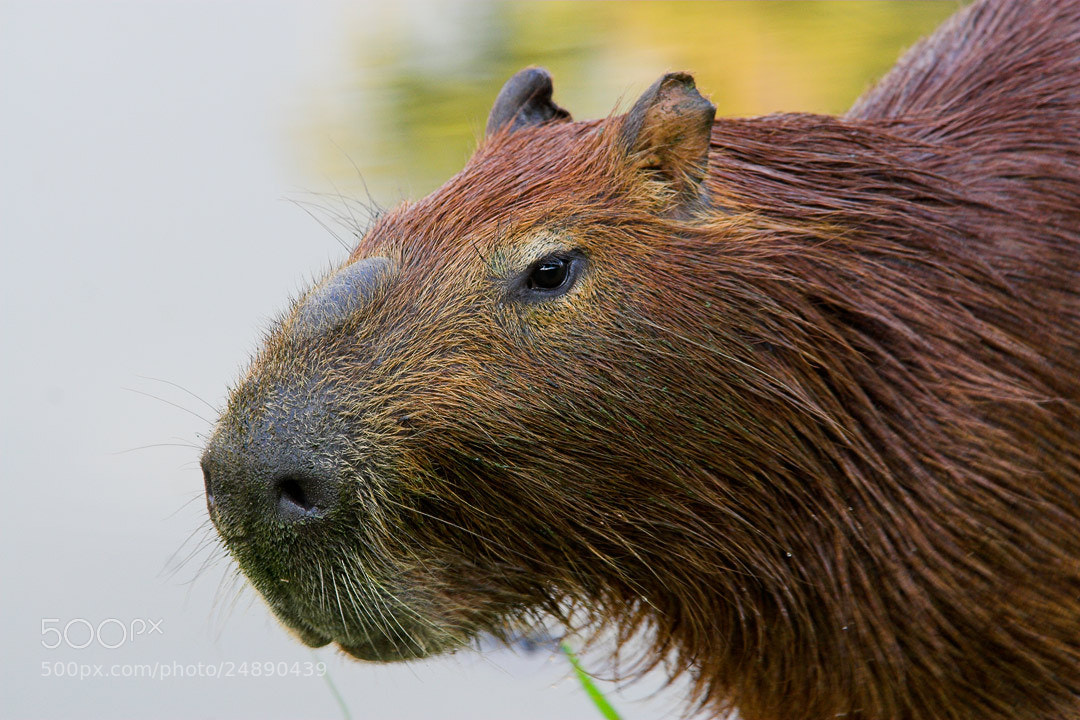Photograph Capybara by Javier Abad on 500px