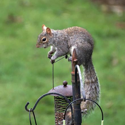 squirrel, Canon EOS 77D, Tamron SP 70-300mm f/4.0-5.6 Di VC USD