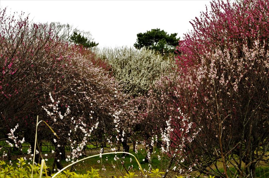 UME Forest, автор — MEGUMU(恵) WATANABE(渡辺) на 500px.com