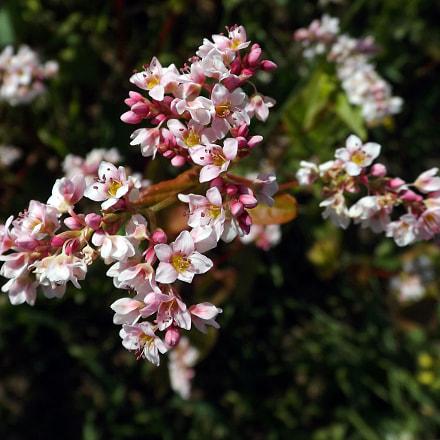 Buckwheat flower, Fujifilm FinePix S4300