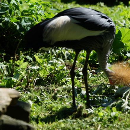 crown crane, Sony SLT-A99V