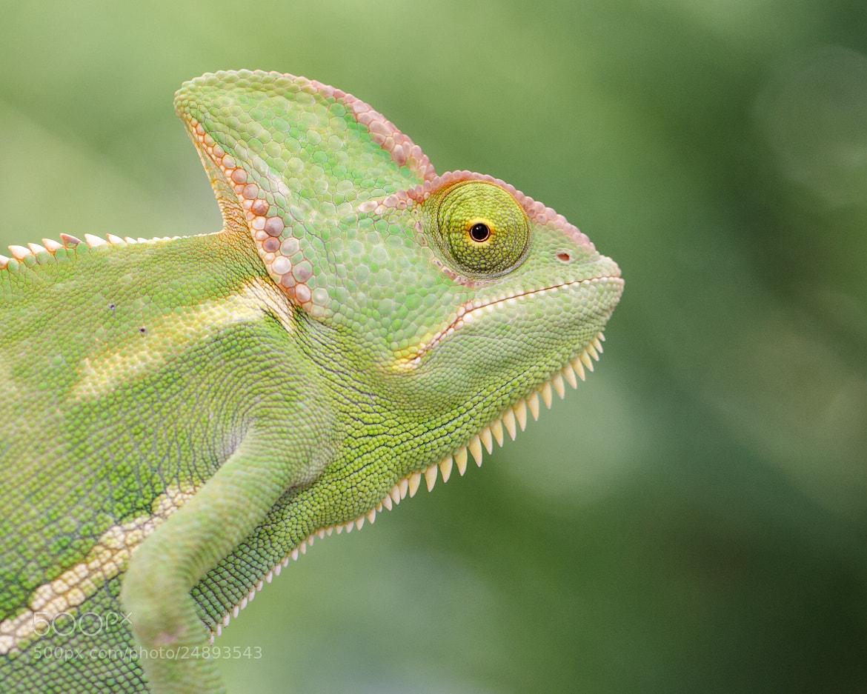 Photograph Chameleon Portrait by Bill McBride on 500px