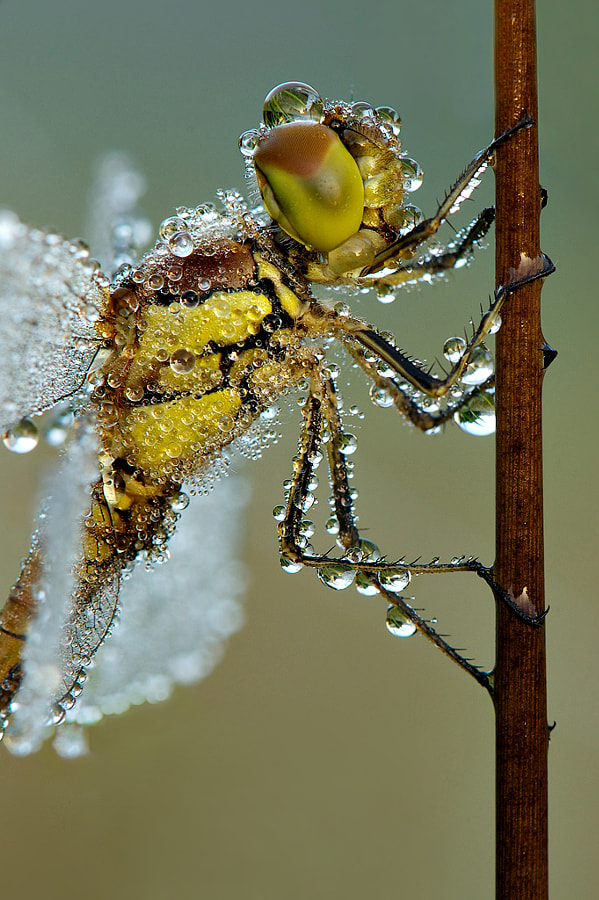 Darter closeup by Erik Veldkamp on 500px.com