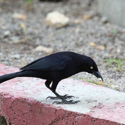 A Grackle In Antigua