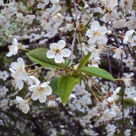Cherry blossoms, Sony DSC-W190
