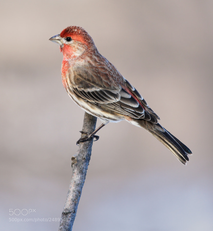Photograph House Finch by Brian Masters on 500px