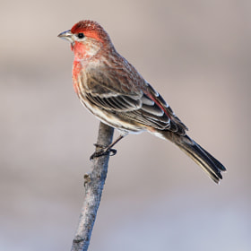 House Finch by Brian Masters (bmasters1)) on 500px.com