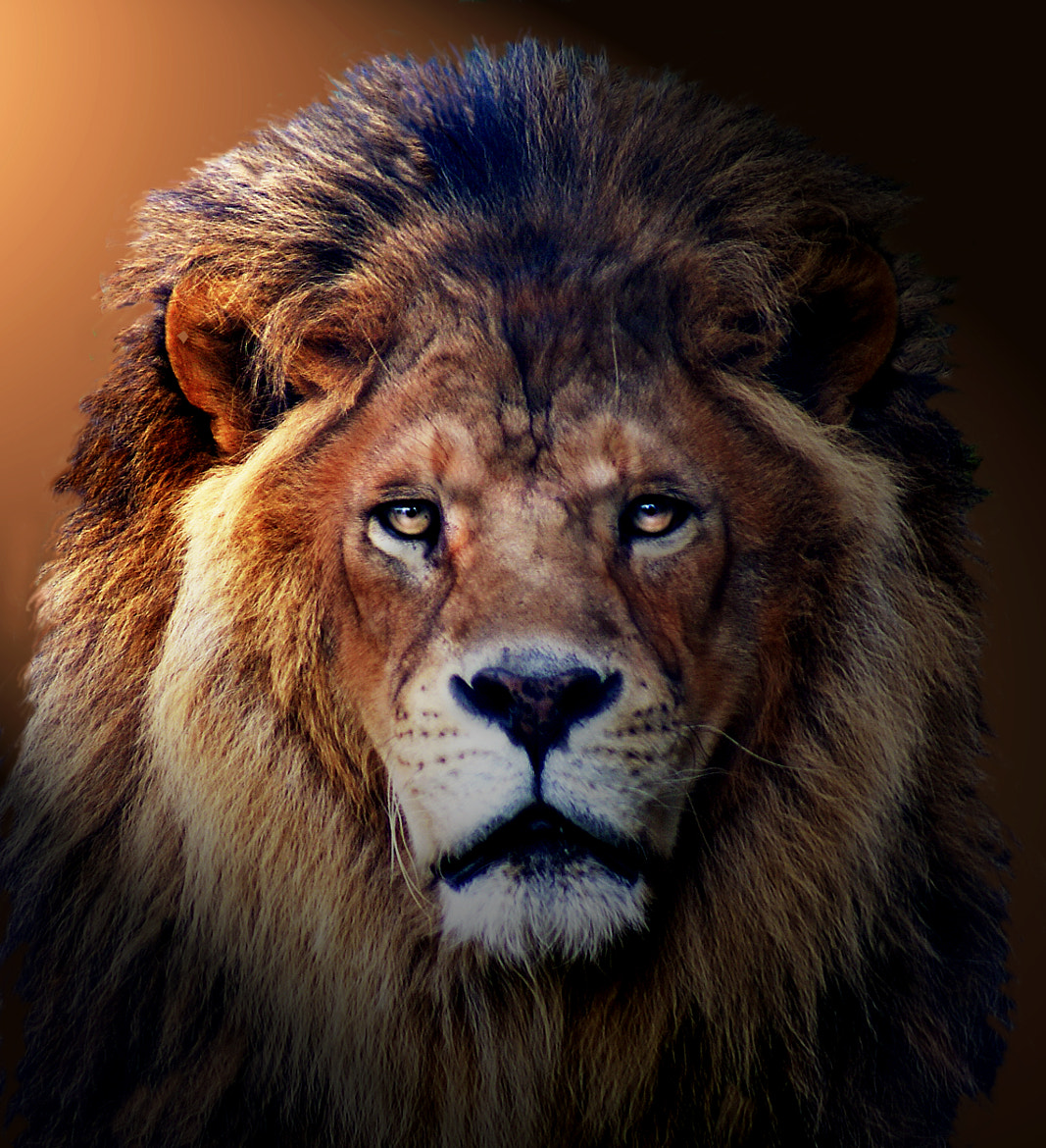 Photograph Lion 2 by Brian Masters on 500px