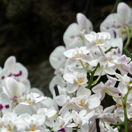 Orchids 3, Panasonic DMC-TZ101