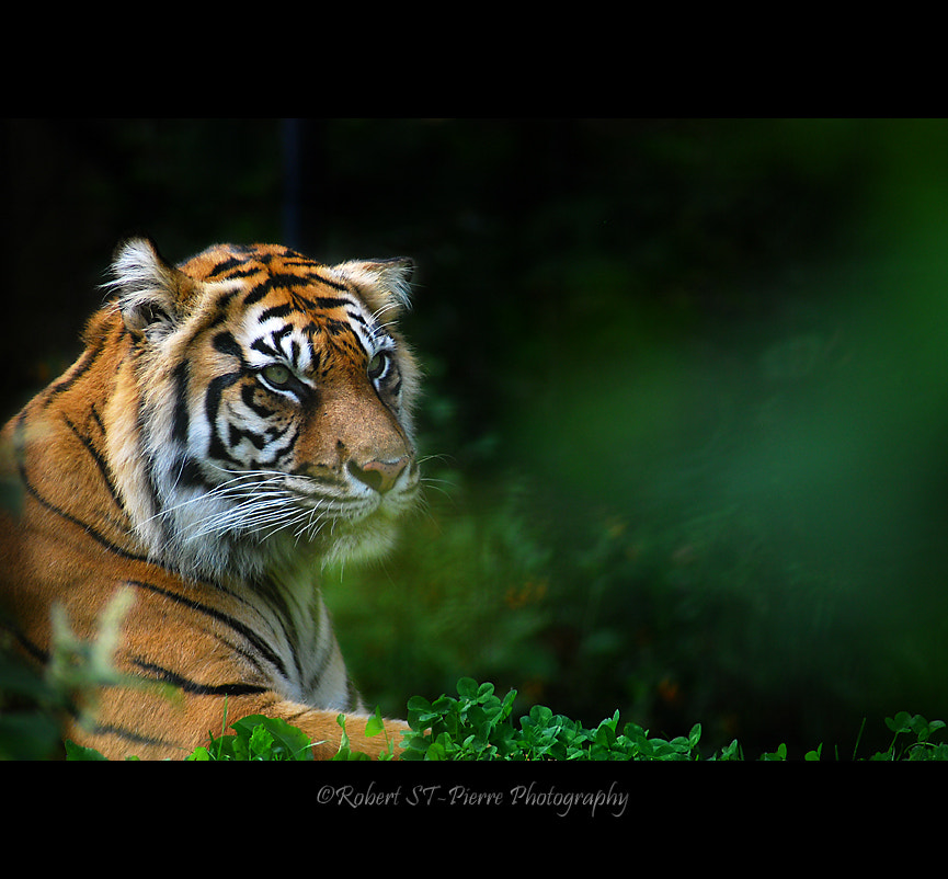 Photograph Tiger Toronto Zoo by Robert St-Pierre on 500px