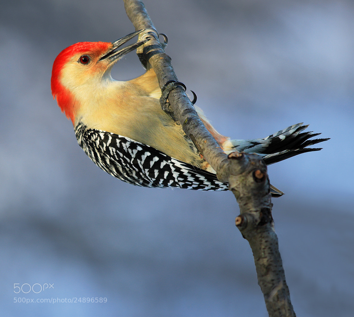 Photograph Red Bellied Woodpecker 4 by Brian Masters on 500px
