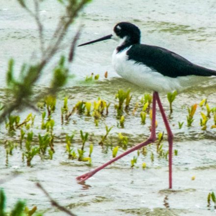 Hawaiian stilt, Panasonic DMC-FZ35