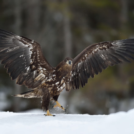 White tailed eagle walking, Nikon D4S