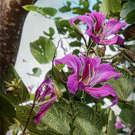 Orchid tree, Panasonic DMC-FZ330