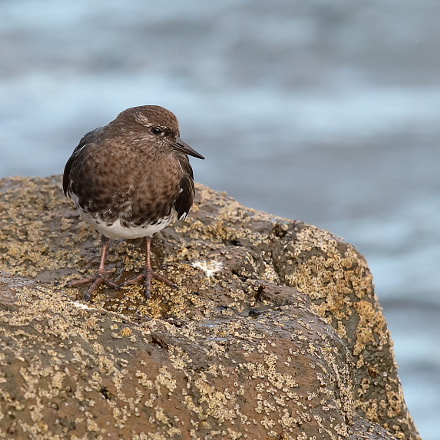 Black Turnstone, Canon EOS 5D MARK IV, Canon EF 500mm f/4L IS II USM