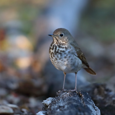 Hermit Thrush, Canon EOS 5D MARK IV, Canon EF 500mm f/4L IS II USM