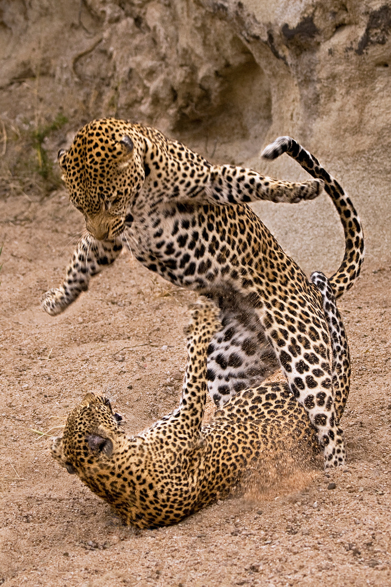 Photograph Mating Leopard Jump by Rudi Hulshof on 500px
