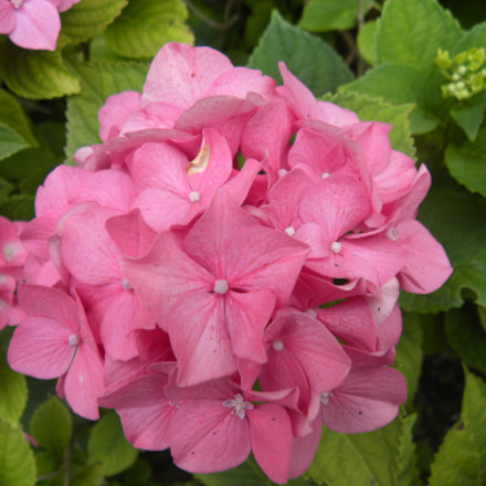 Hortensia Hydrangea macrophylla Benelux, Nikon COOLPIX P90