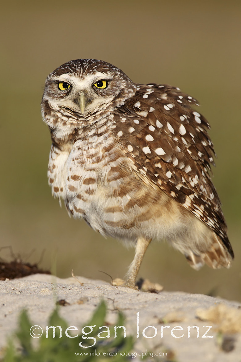 Photograph Angry Owl by Megan Lorenz on 500px