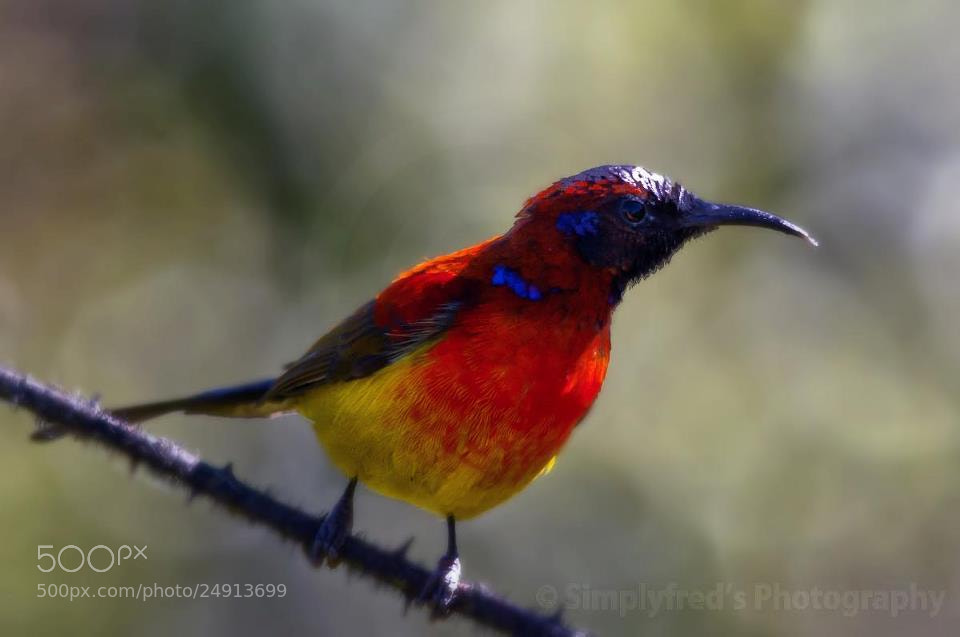 Photograph Mrs Gould Sunbird by Alfred Quah on 500px