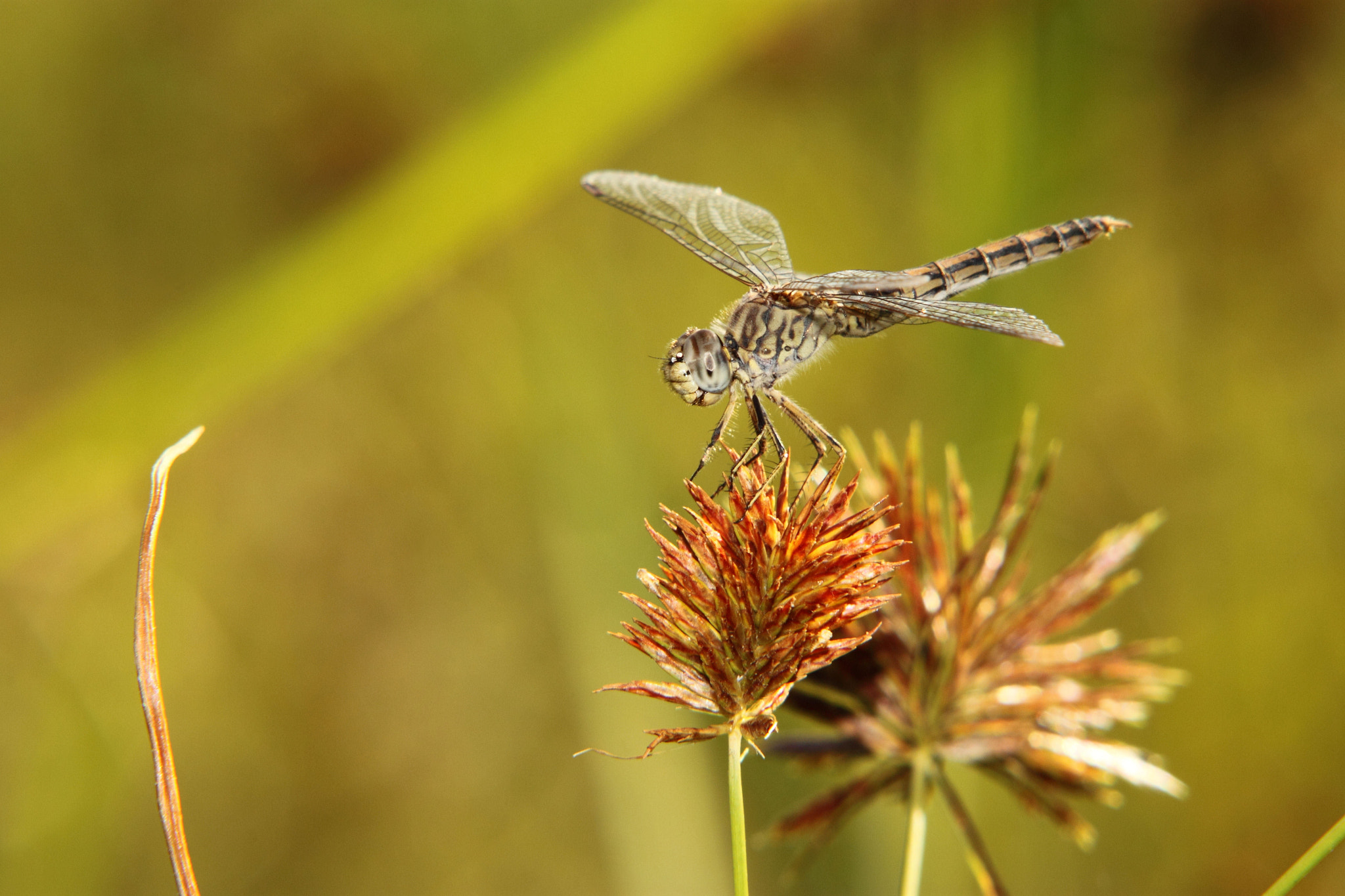 Photograph Brown Dragonfly. by Johannes Christoffel Meintjes on 500px