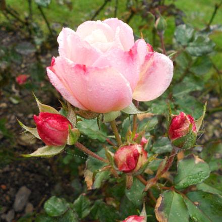 Morning Dew Rose, Nikon COOLPIX S2600