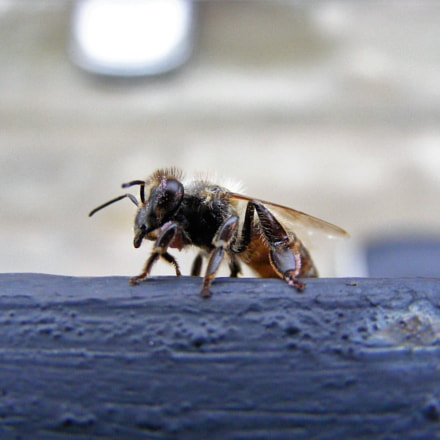 Wounded bee, Fujifilm FinePix S5800 S800