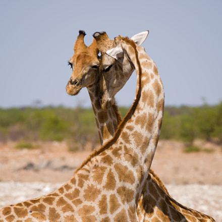 Gentle Giraffes, Nikon D4S, AF-S VR Zoom-Nikkor 200-400mm f/4G IF-ED