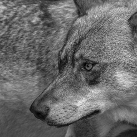 Wolf, Fujifilm FinePix S100FS