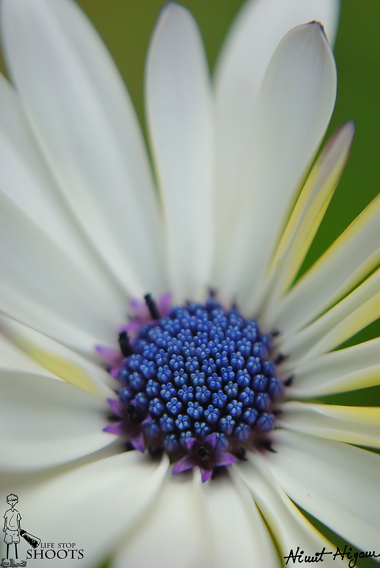 Photograph Different Angle Of Daisy... by Nimit Nigam on 500px