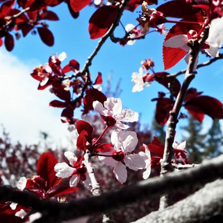 Kirsikkapuu, Nikon COOLPIX S3600