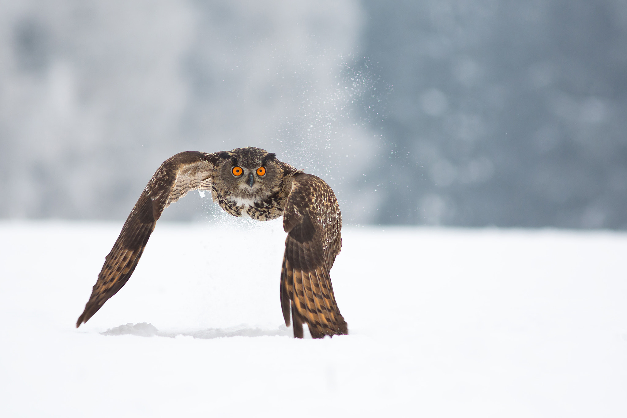 Photograph Eagle Owl - Take Off by Milan Zygmunt on 500px
