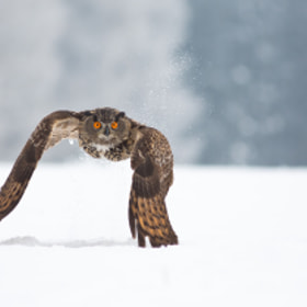 Eagle Owl - Take Off by Milan Zygmunt (Milan_Zygmunt)) on 500px.com