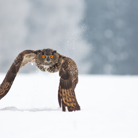 Eagle Owl - Take Off