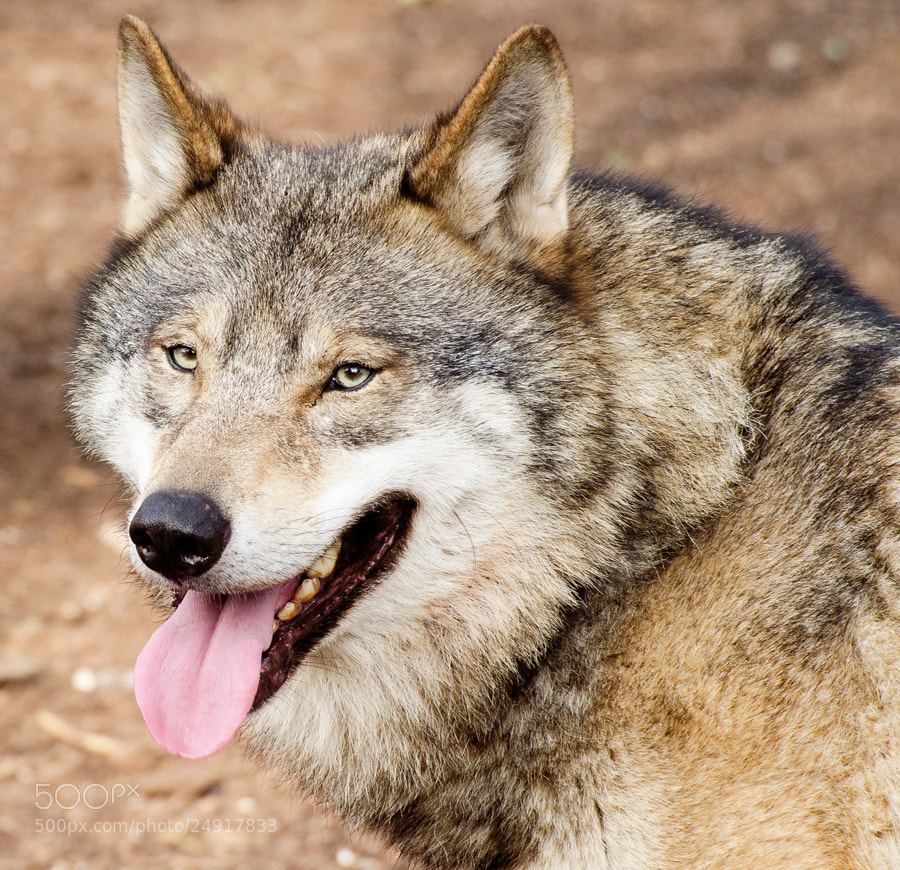 Photograph Wolf portrait by Christina Skov on 500px