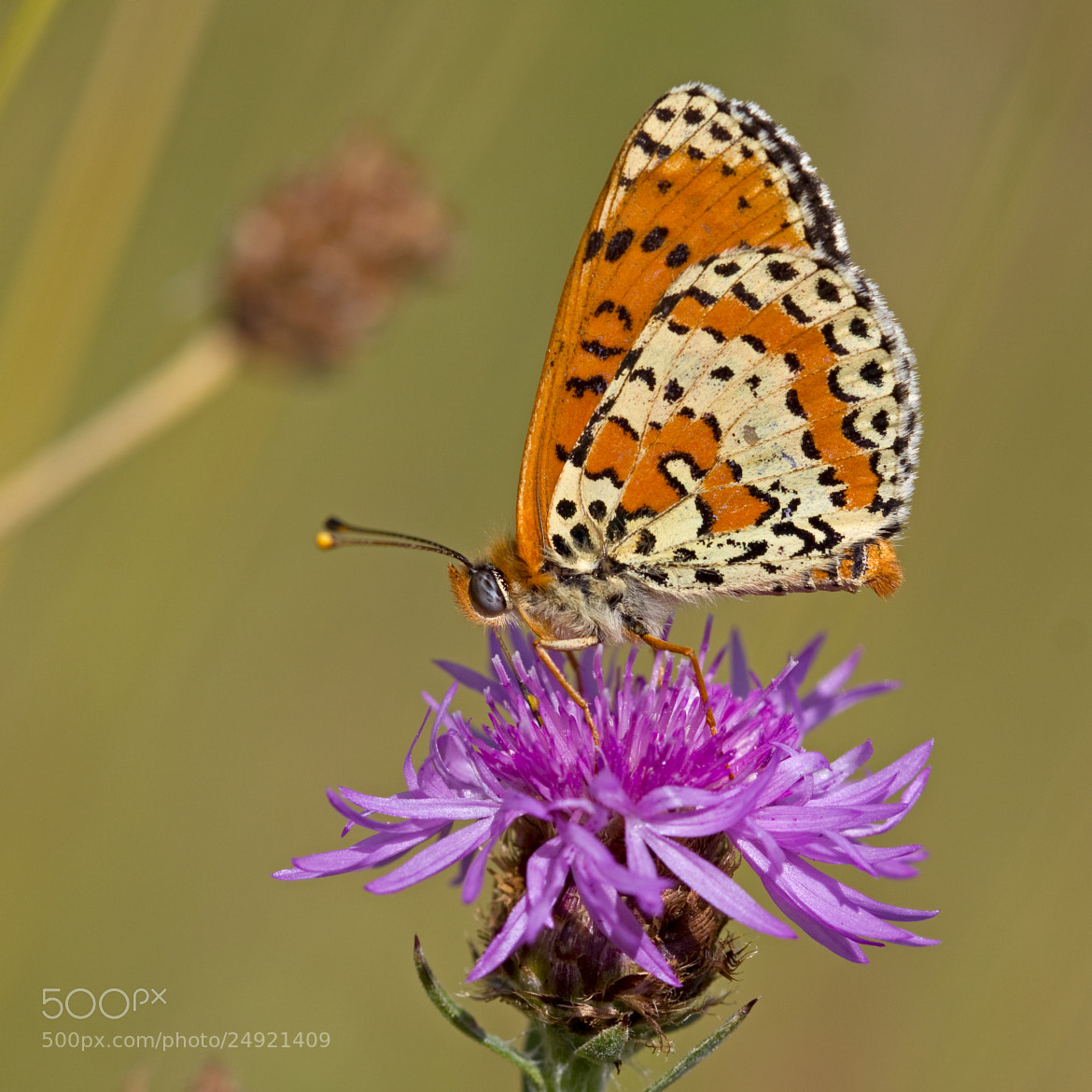 Photograph Spotted Fritillary by Anne Sorbes on 500px