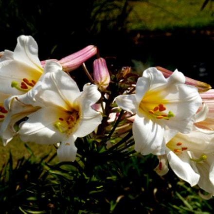 Flower, Panasonic DMC-ZS10