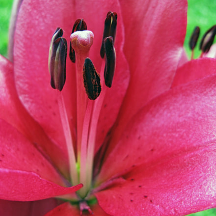 Lily, Canon POWERSHOT A720 IS