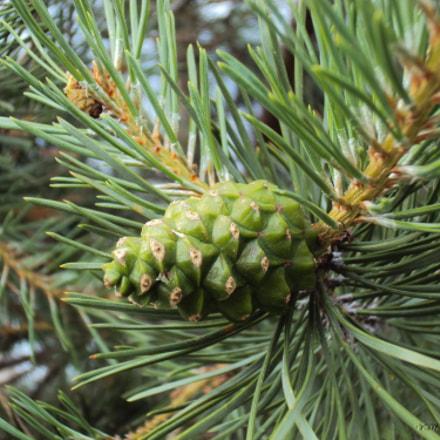 Green pine cone, Sony DSC-W190
