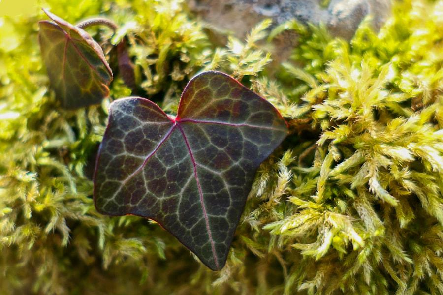 La petite feuille de lière (The little ivy leaf) de Christine Druesne sur 500px.com