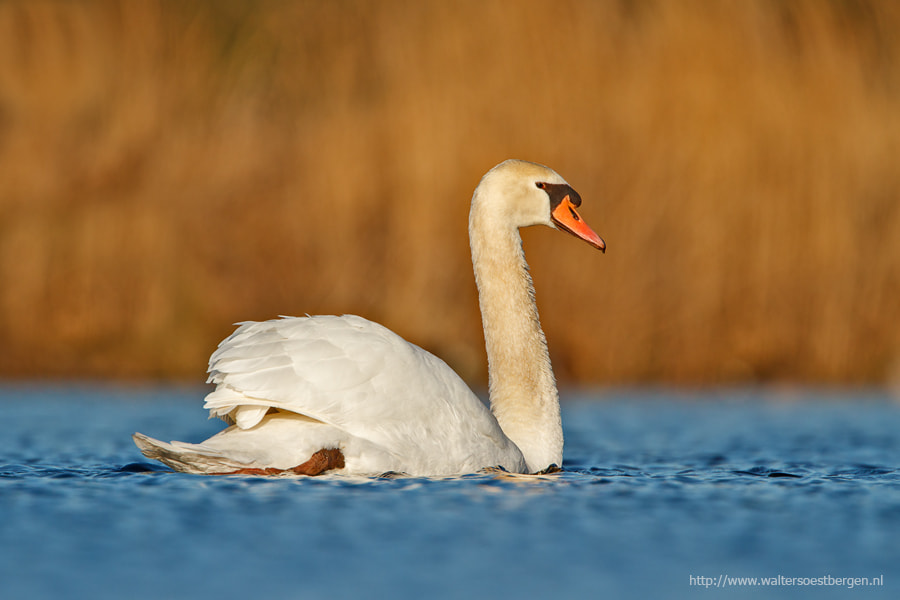 Photograph Muted swan by Walter Soestbergen on 500px