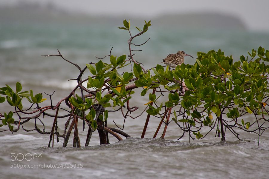 Whimbrel perched on mangrove branches that have been half submerged by the incoming tide - Guinea Bissau