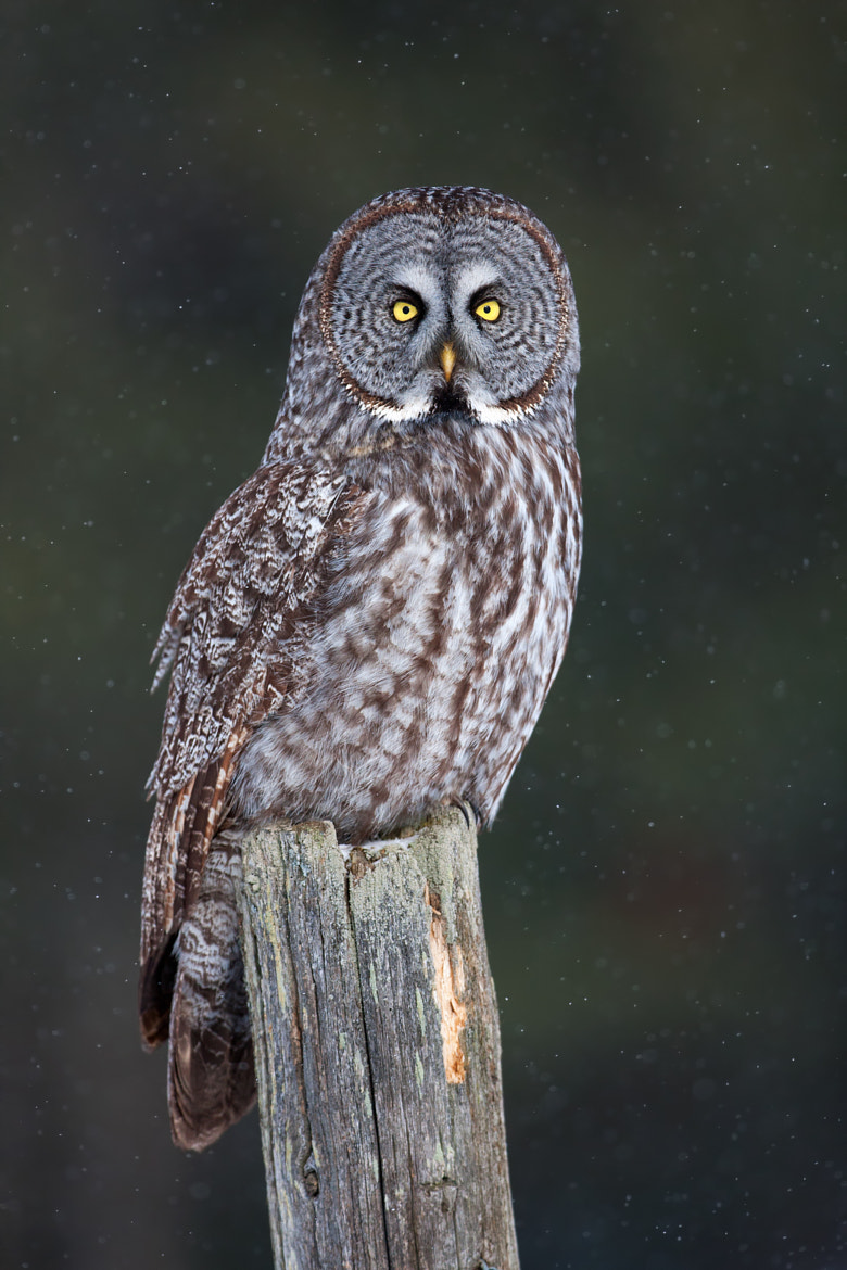 Photograph Great Grey Owl on Post by Jim Cumming on 500px