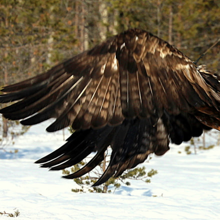 The golden eagle shows, Canon EOS 700D, Canon EF 70-300mm f/4.5-5.6 DO IS USM