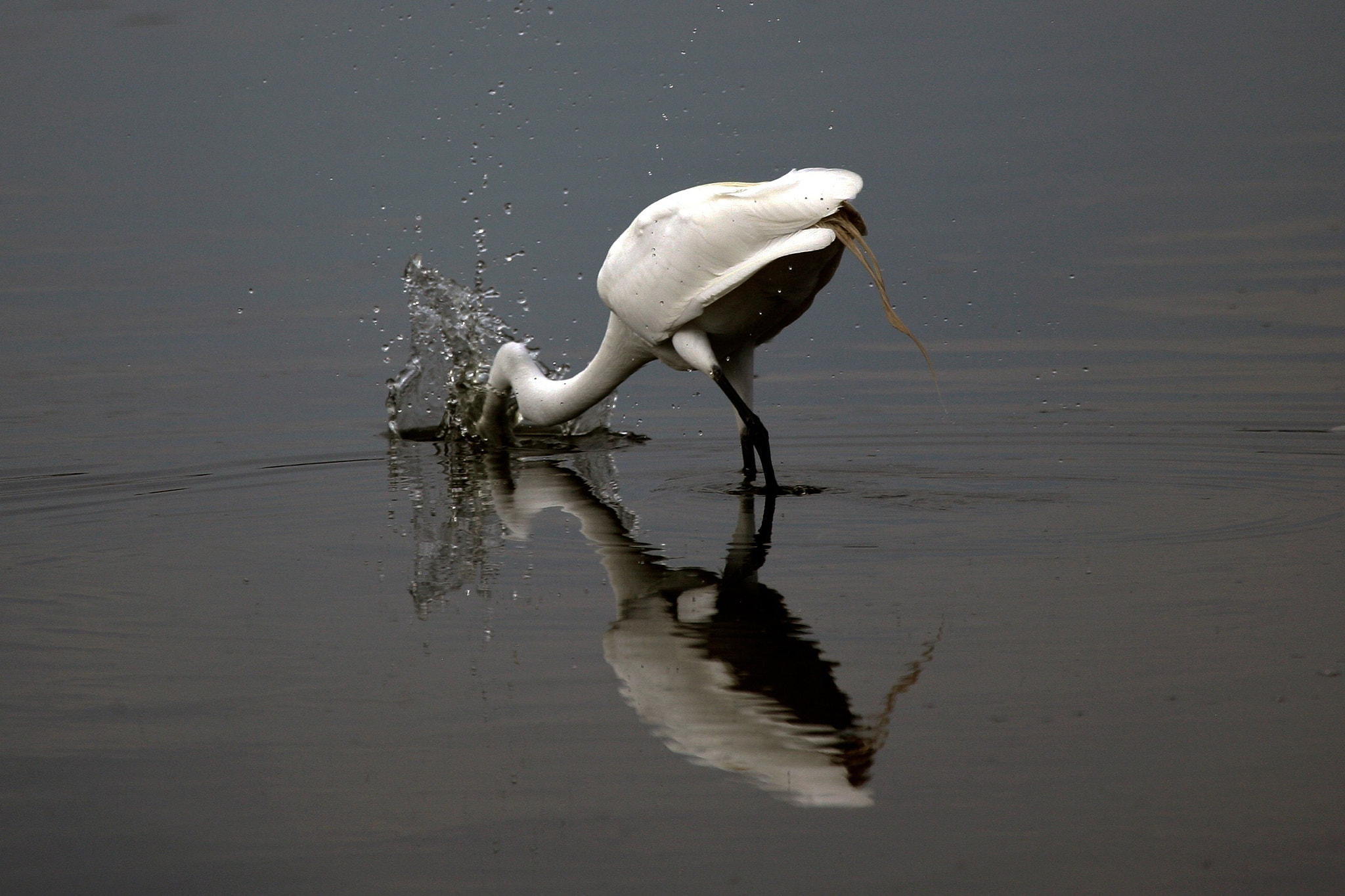 Photograph Great egret with reflection by Cristobal Garciaferro Rubio on 500px