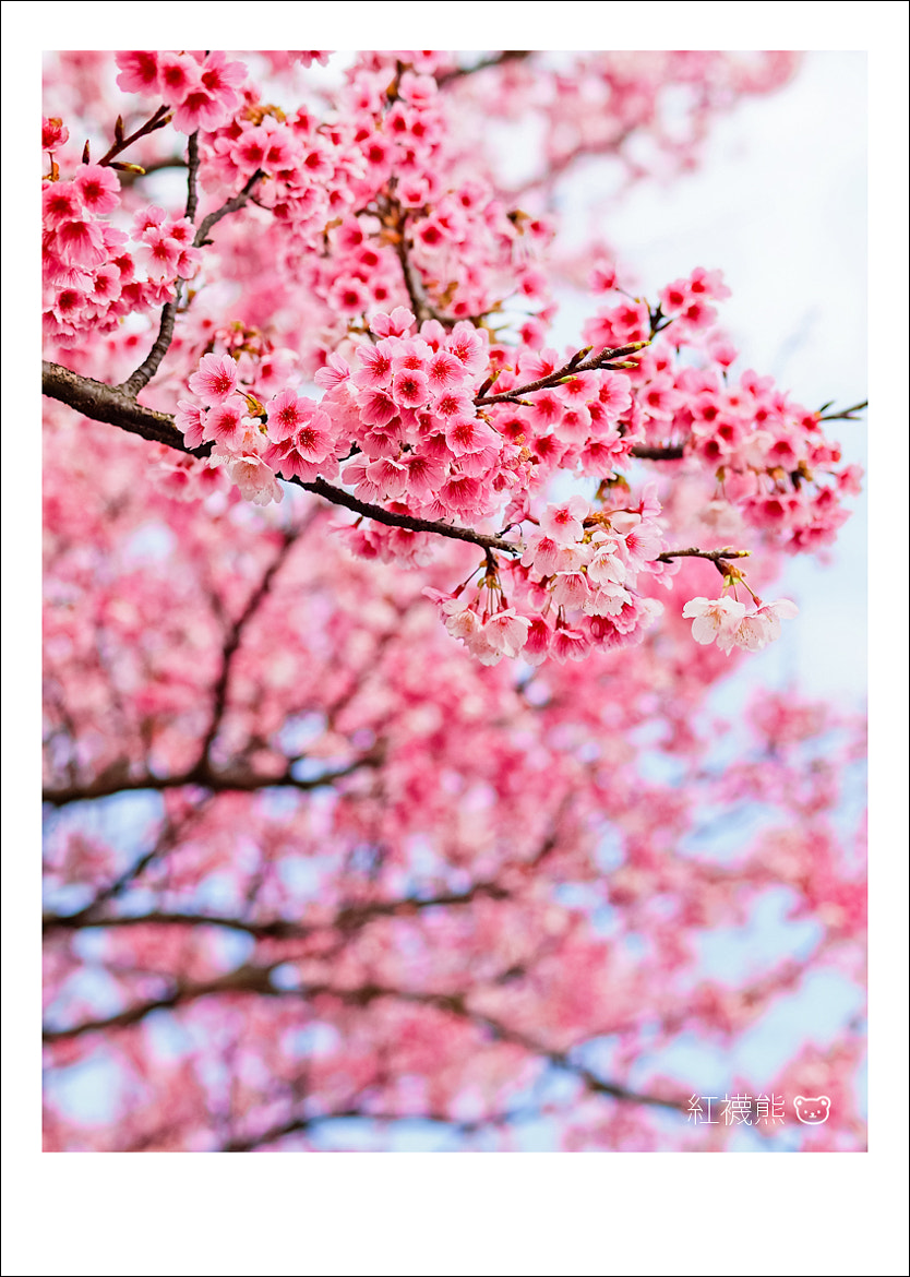 Photograph SAKURA by Kyle Lin on 500px