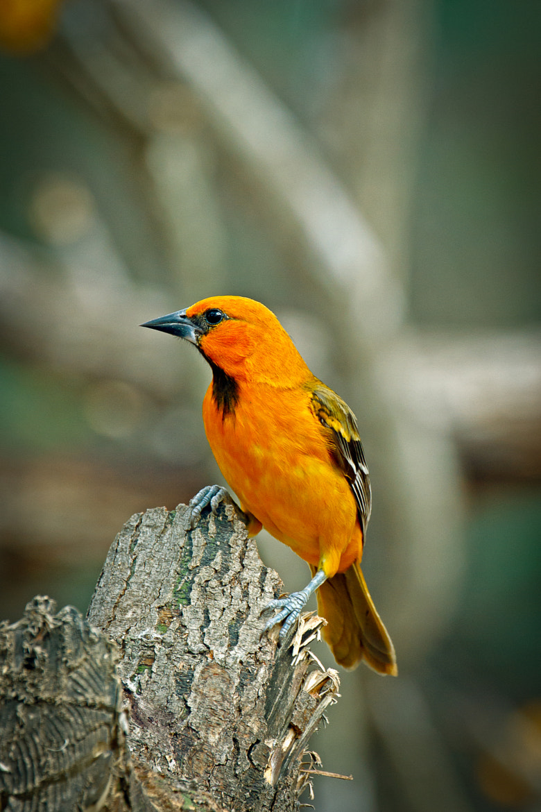 Photograph Altamira Oriole by Kenny Salazar on 500px